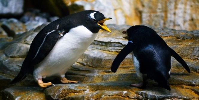 Penguins arguing